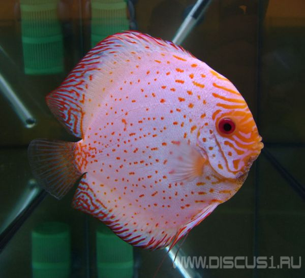 Discus white butterfly белая бабочка